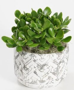 A long-lasting Jade plant is planted in your choice of container making for this wonderfully unique gift.